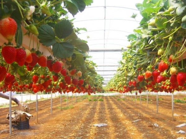 Фермерские хозяйства по выращиванию клубники адреса